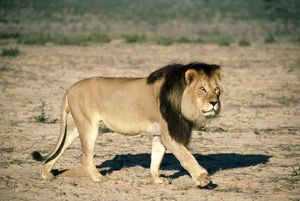 Male LION - walking