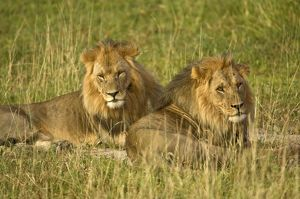 Two male lions - close up resting in evening light