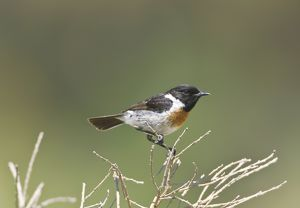 Male Stonechat perched