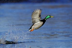 Mallard Duck drake - taking off
