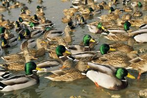 Mallard DUCK - flock on water