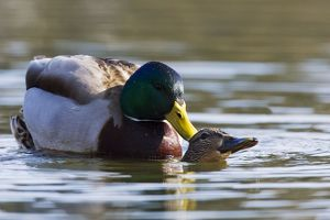 Mallard Duck - mating