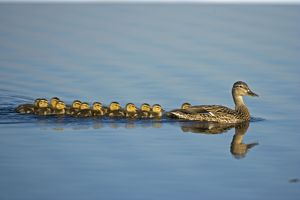 Mallard - Mother and Young Swimming