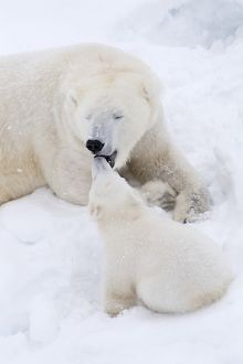 Mammal. Polar Bear in snow, with its 4 month old cub