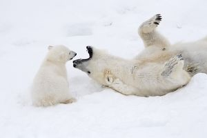 Mammal. Polar Bear in snow, play with its 4 month old cub