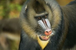 MANDRILL BABOON - close-up of face