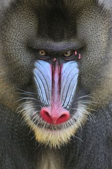 Mandrill - male - portrait