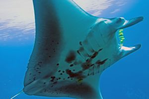 Manta Ray - gentle plankton feeders they have no sting on their tail