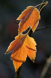 Maple leaves - back-lit and edged with frost.