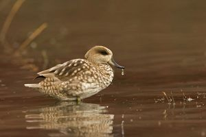 Marbled Teal (Male) - sitting in shallow water