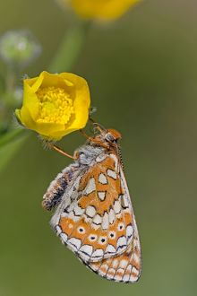 Marsh Fritillary Butterfly - UK