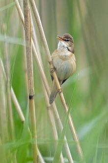 Marsh Warbler - perched on reed stalk - singing