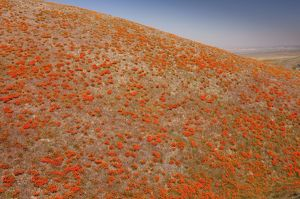 Masses of Californian Poppies in the Antelope Valley