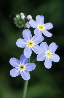 ME-1722 Water Forget-me-not