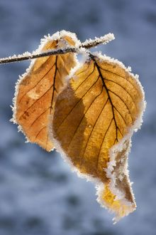 ME-1805 Common Beech - leaf covered in frost