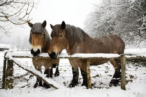 ME-1812 Belgian horses - in winter