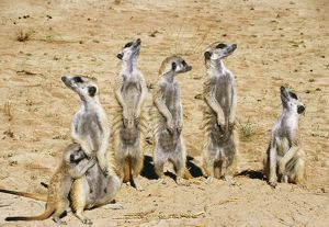 Meercats / Suricates - on look out all looking in different directions