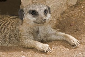 Meerkat / Suricate - lying down with claws outstretched