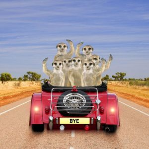 Meerkats - in car waving