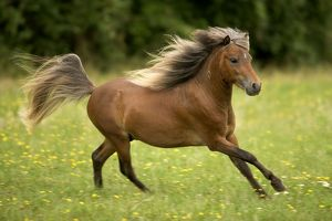 Miniature American Horses - cantering