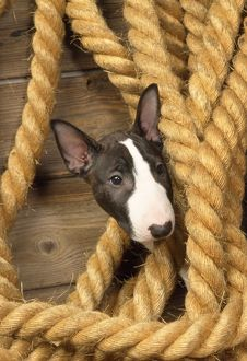 Miniature Bull Terrier Dog - puppy in rope