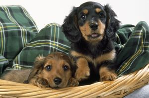 Miniature Long-haired Dachshund Dog - puppies in basket