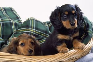 Miniature Long-haired Dachshund / Teckel Dog - puppies in basket