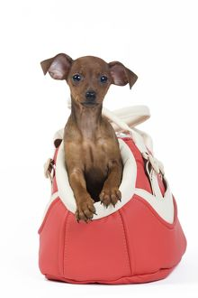 Miniature Pinscher Dog - puppy two months old in Dog bag