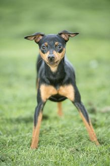 Miniature PINSCHER DOG - STANDING