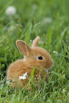 Miniature Rabbit / DWARF RABBIT - sitting in grass