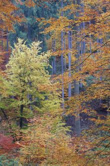 Mixed Forest - autumn