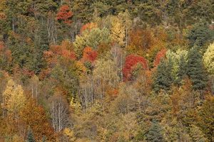 Mixed forest - in Autumn with Pine Poplar & Beech.