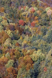Mixed forest - in Autumn with Pine Poplar Oak Lime & Beech trees.