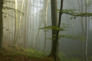 Mixed old beech and hornbeam forest in early morning mist