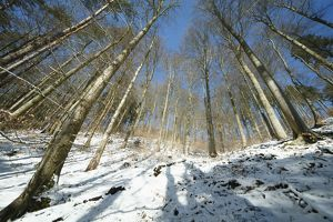 Mixed woodland - mainly beech trees - after snowfall in winter