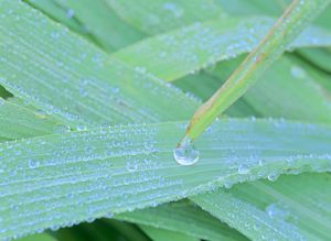 morning dew - blades of grass covered with drops of morning dew