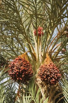 Morocco - Bunches of ripe dates at a date palm