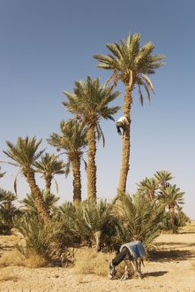 Morocco - Gathering the ripe dates from high date
