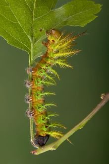Moth - Urticant and dangerous caterpillar eating a leaf