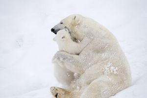 Mother Polar Bear playing with her cub in the snow