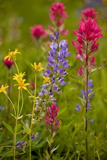 Mountain flowers - broadleaf Arnica, Magenta Paintbrush, lupins etc