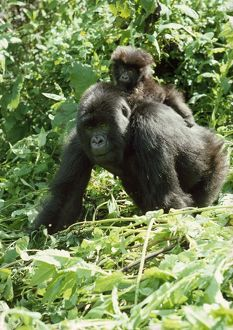 MOUNTAIN GORILLA - With baby on back