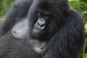 Mountain Gorilla - female