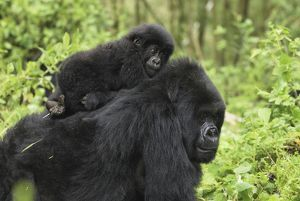 Mountain Gorilla - female with baby