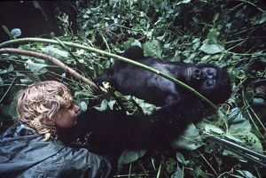 Mountain Gorilla - lying on back being watched by tourist