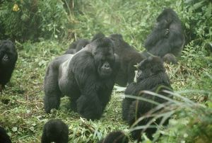 Mountain Gorilla - male silverback
