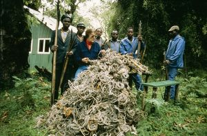 The Mountain Gorilla Story - Snares placed by poachers