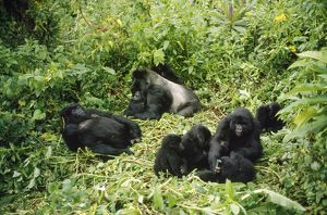 MOUNTAIN GORILLAS - family group with Silverback male