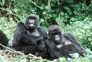 "Mountain GORILLAS - x two females ""Murraha"" and ""Poppy"""