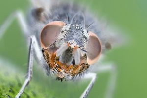 Muscidae Fly - Eyes and face